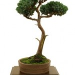 Grow a Juniper Bonsai Tree
