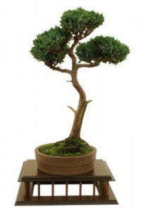 Juniper-Bonsai