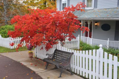 japanese-maple-focal-point
