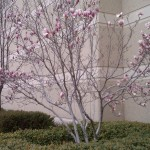Spring-flowering Tulip Tree